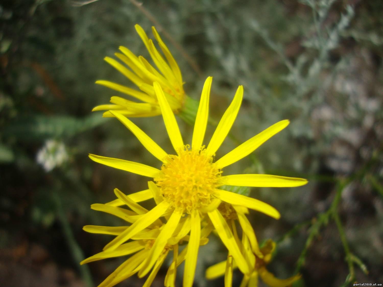 Фото желтых полевых цветов